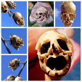 Семена розы череп