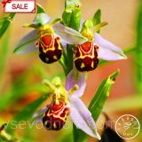 Семена орхидеи - Лицо пчелы